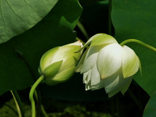 Buyeo Seodong Lotus Festival 11