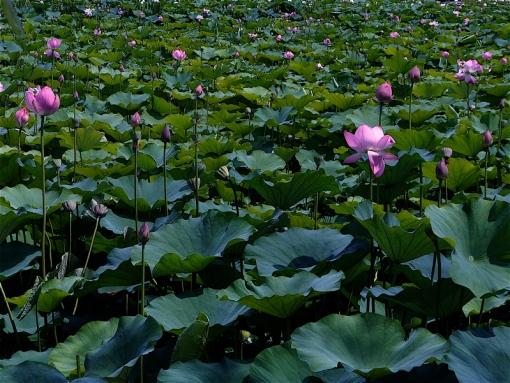 Buyeo Seodong Lotus Festival 41